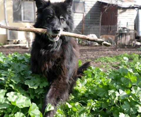 כלב מחזיק מקל
